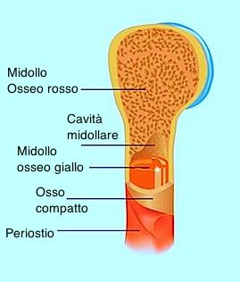 composizione-interna-osso-guniita-